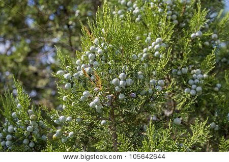 Cypress Cones Of A  Juniper.