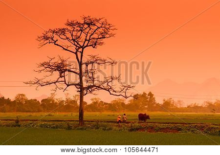 Two farmer with a cow in rice field in sunset