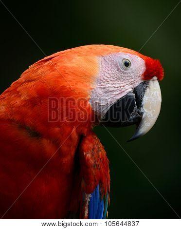 Scarlet Macaw (ara Macao)