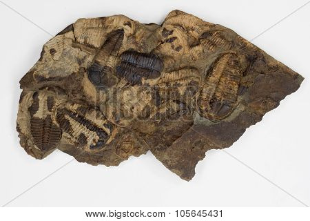Group Of Brown Trilobites With White Background