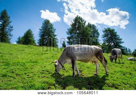 Cows Grazing In Dolomiti Mountains