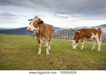 Cows Grazing On Meadow