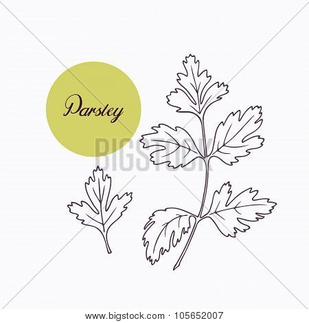 Hand drawn parsley branch with leves isolated on white