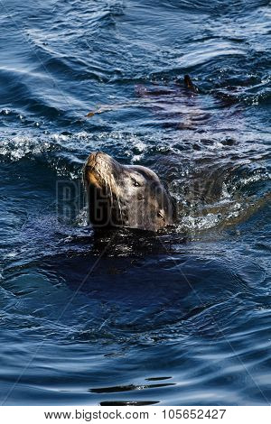 Sea Lion Swimming In Monterey Bay California
