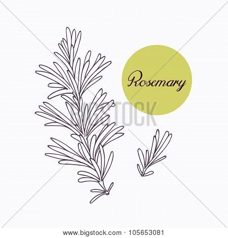 Hand drawn rosemary branch with leves isolated on white