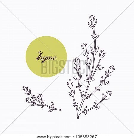 Hand drawn thyme branch with leves isolated on white