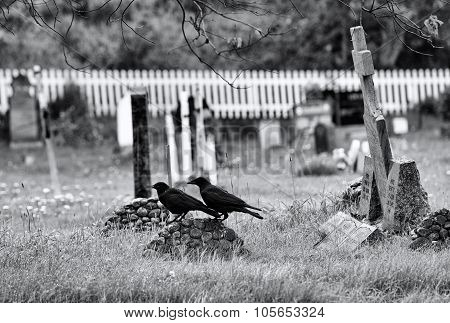 Black crows in the cemetery