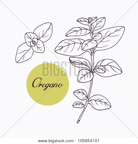 Hand drawn oregano branch with leves isolated on white