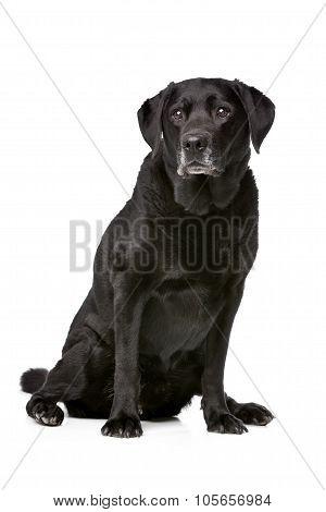 Eleven Years Old Black Labrador