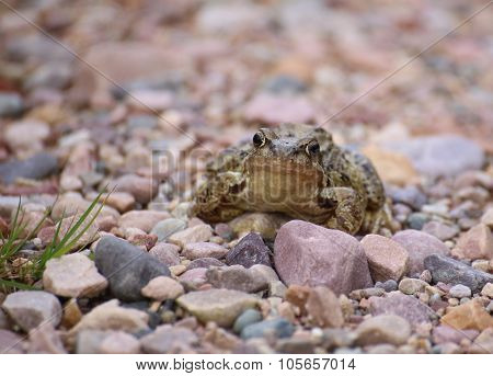 Common Frog (rana Temporaria) On Gravel Ground