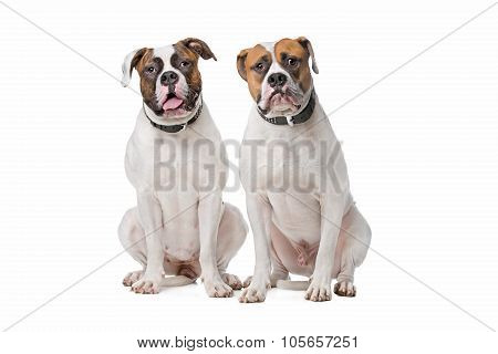 Two American Bulldogs