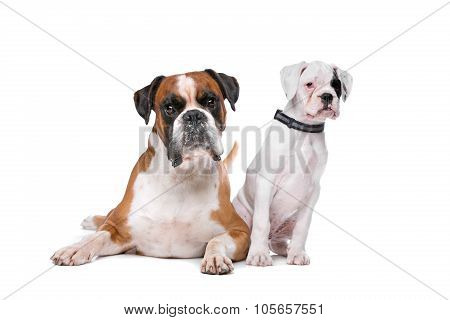 Brown Boxer Dog And A Boxer Puppy