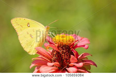 Female Cloudless Sulphur butterfly feeding on a pink Zinnia in summer garden