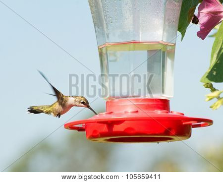 Juvenile male Ruby-throated Hummingbird eating nectar at feeder