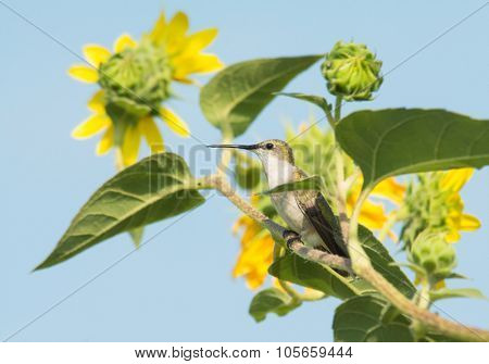 Ruby-Throated Hummingbird resting on a wild Sunflower branch against blue sky