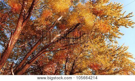 Wild Cherry Tree Autumn or Fall Foliage. Fall Leaves.