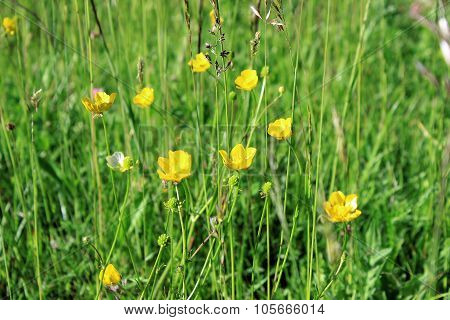Yellow Flowers Buttercup