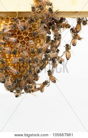 Honeybees Dangling From Wood Frame