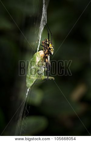 Yellow And Black Garden Spider With Food