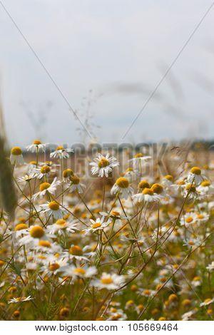 Wild Camomile Daisy Flowers