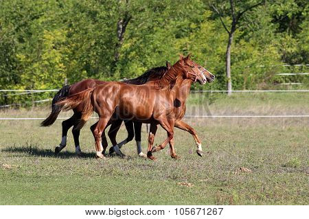 Thoroughbred Horses Runs On Meadow In A Sunny Day