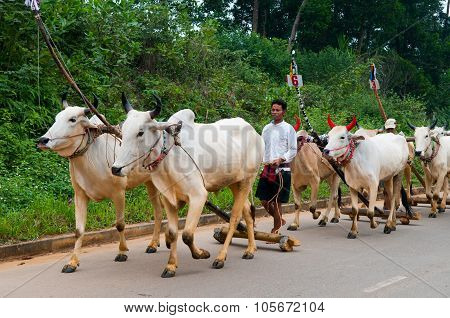 Khmer men lead cows to cows racing festival in An Giang, Vietnam.