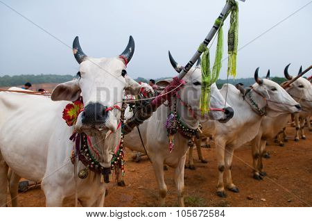 Cows in Khmer cow racing festival in An Giang, Vietnam.