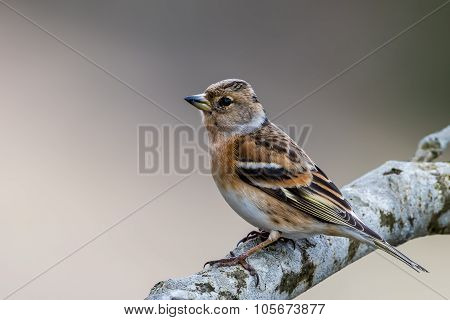 Mrs Brambling