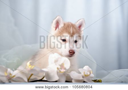 gentle puppy husky and orchids