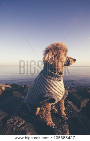 Poodle Dog Looking Away At Sunset At The Sea