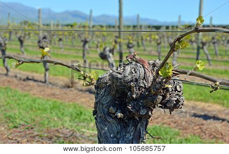 Spring Growth On Sauvignon Blanc Vines In Marlborough, New Zealand