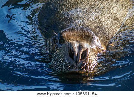 Nose Of A Sea Lion