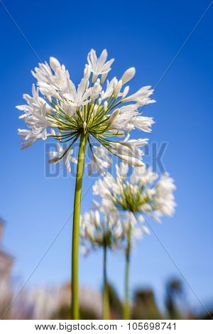 White allium flower
