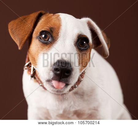 Dog shows tongue. Fun puppy
