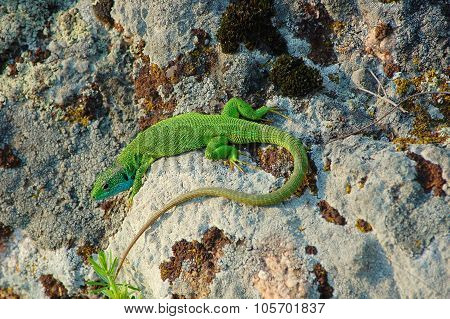 European green lizard on the stones.
