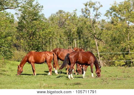 Group Of Young Stallion Grazing On Summer Pasture Rural Scene