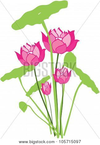 Pink Colorful Water Lily Flowers