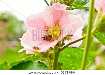 Close Up View Of The Working Bee On A Pink Hollyhock Flower.