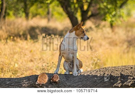 Portrait of wild Basenji dog - troop leader on the tree branch