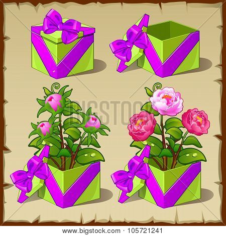 Gift box with growing pink peony