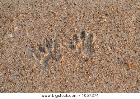 Racoon Pawprints