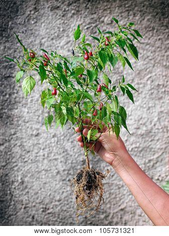 My Chili Plant