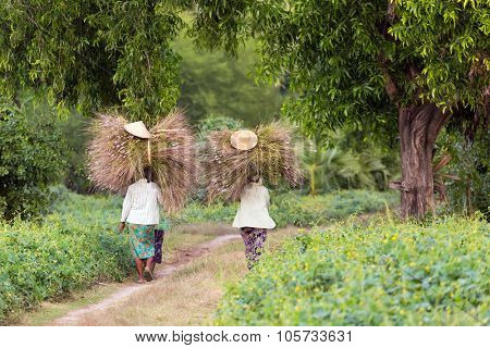 Women farmers carrying hay bunches on the head in the countryside in Myanmar