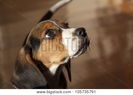 Little Dog - Breed Beagle