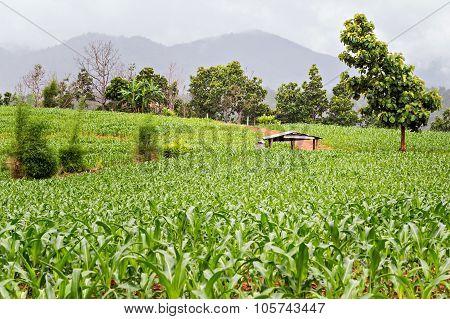 Hut In Seedling Corn Field