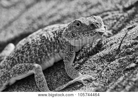 Secret Toadheaded Agama
