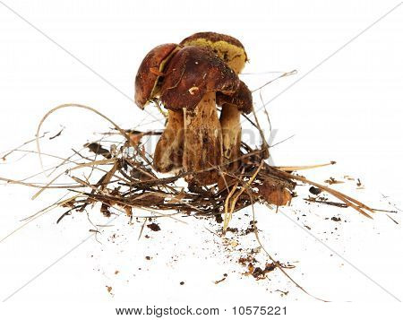 Polish Mushroom On White Background (xerocomus Badius)