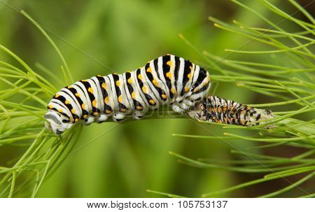 Black Swallowtail butterfly caterpillar eating his molted skin for extra nutrition