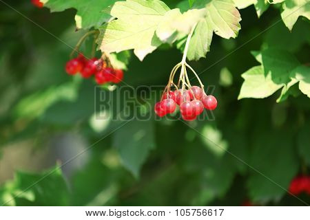 Branch of red viburnum close-up
