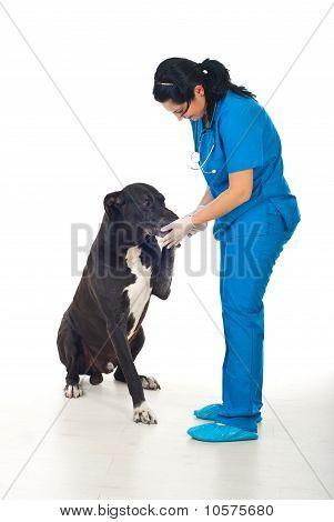 Cachorro grande, dando a pata com o seu médico